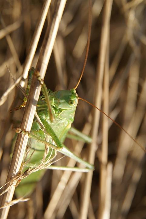 Tettigonia Viridissima, Grasshopper, Insect, Bug