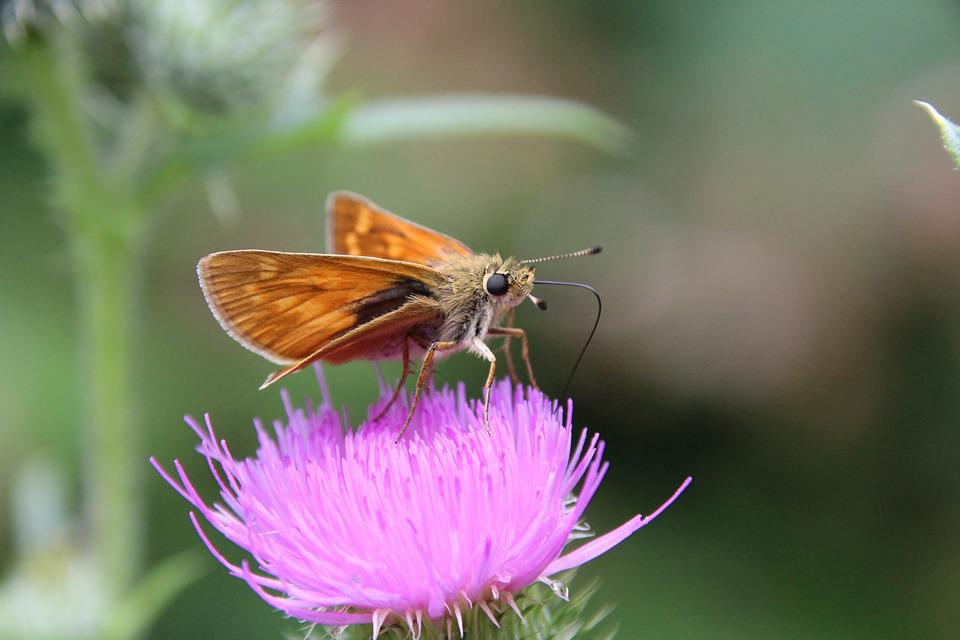 Butterfly, Thistle, Insect