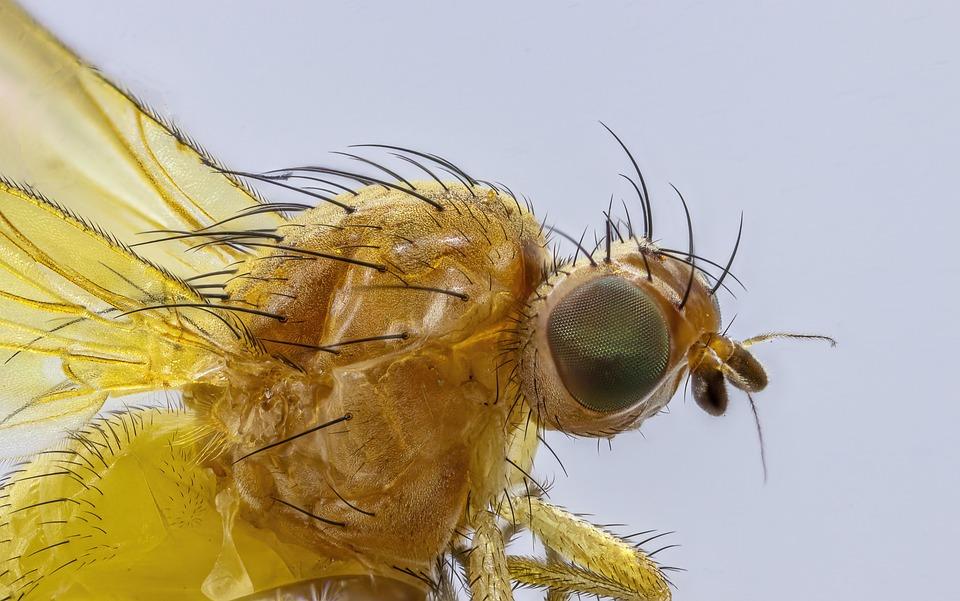 Fly, Yellow, Insect, Tiny, Macro, Micro, Hairy, Eyes