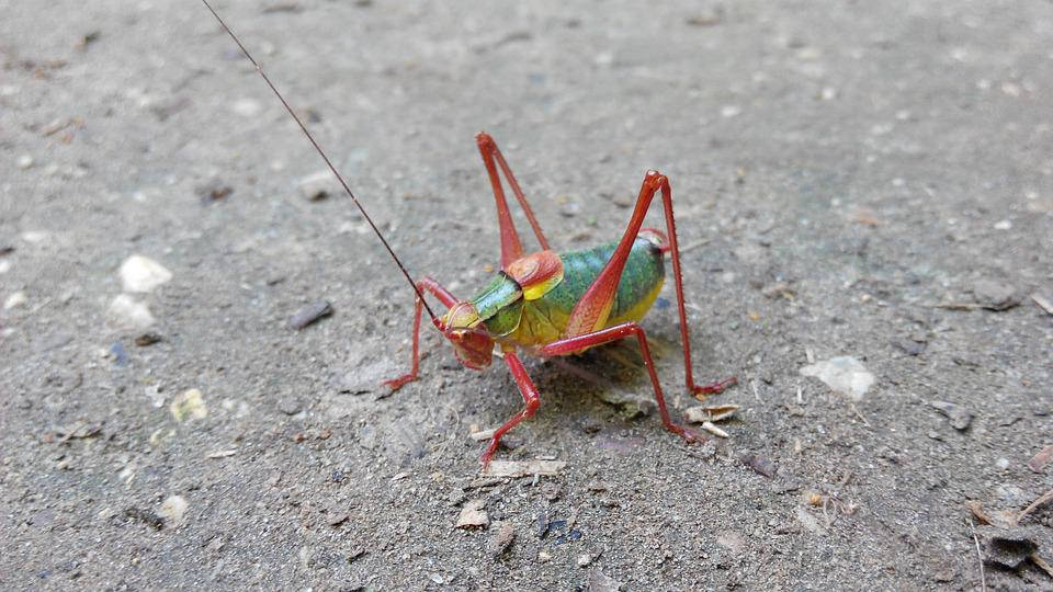 Tractor Grasshopper, Nature, Forest, Insect, Jump