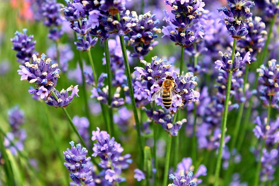 Lavender, Bee, Hummel, Purple, Insect, Violet