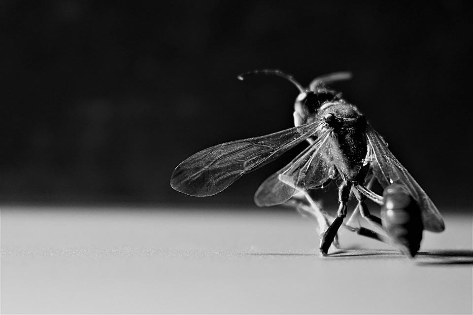 Wasp, Insect, Wing