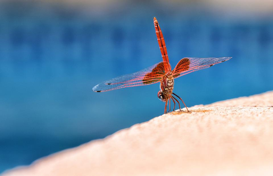 Dragonfly, Macro, Dancer, Water, Insect, Animal, Nature