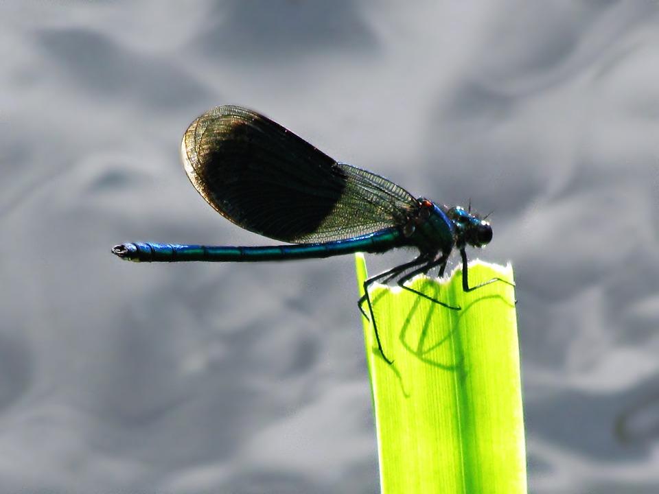 Ważka, Insect, Wings, Nature, Closeup, Fly, Wing