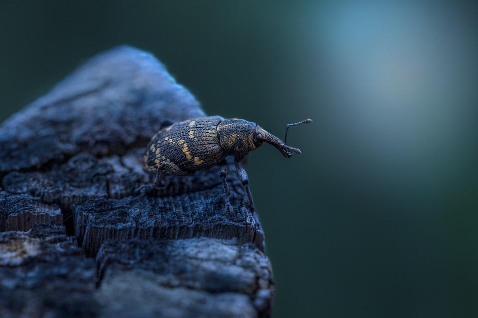 Large Pine Weevil, Beetle, Insect, Weevil
