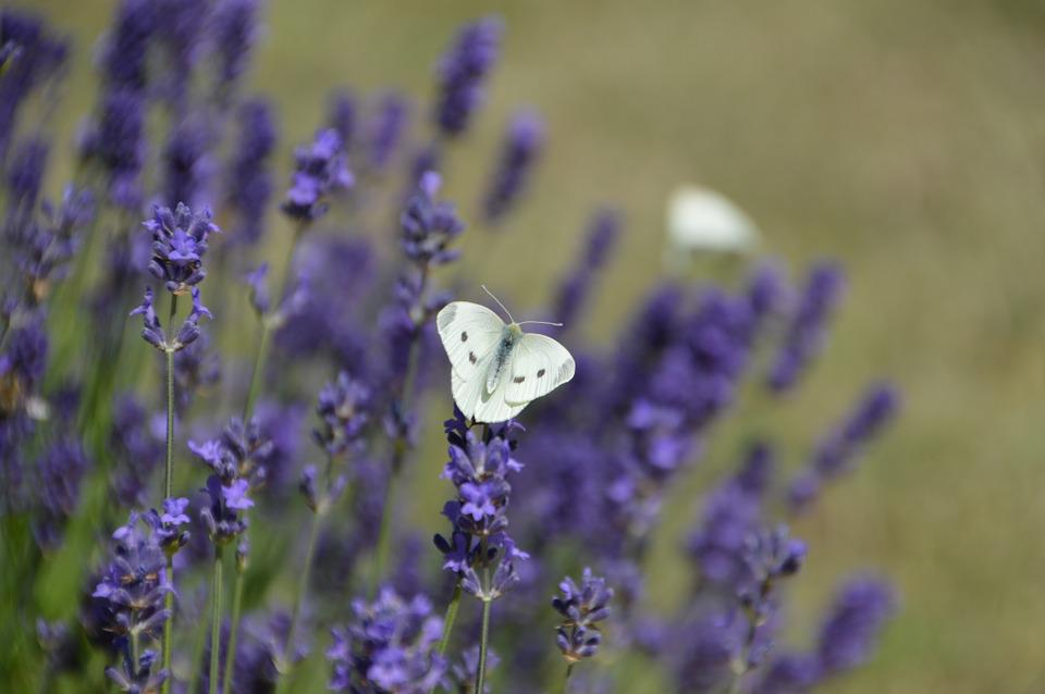 Butterfly, White, Lavender, Insect, Nature