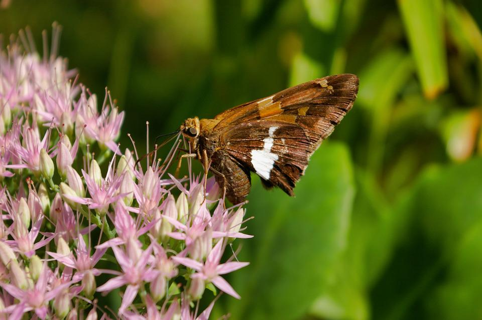 Moth, Butterfly, Insect, Animal, Nature, Wild, Wildlife