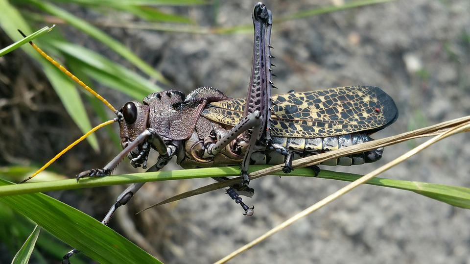 Cricket, Insect, Grasshopper, Pest, Wildlife, Brown