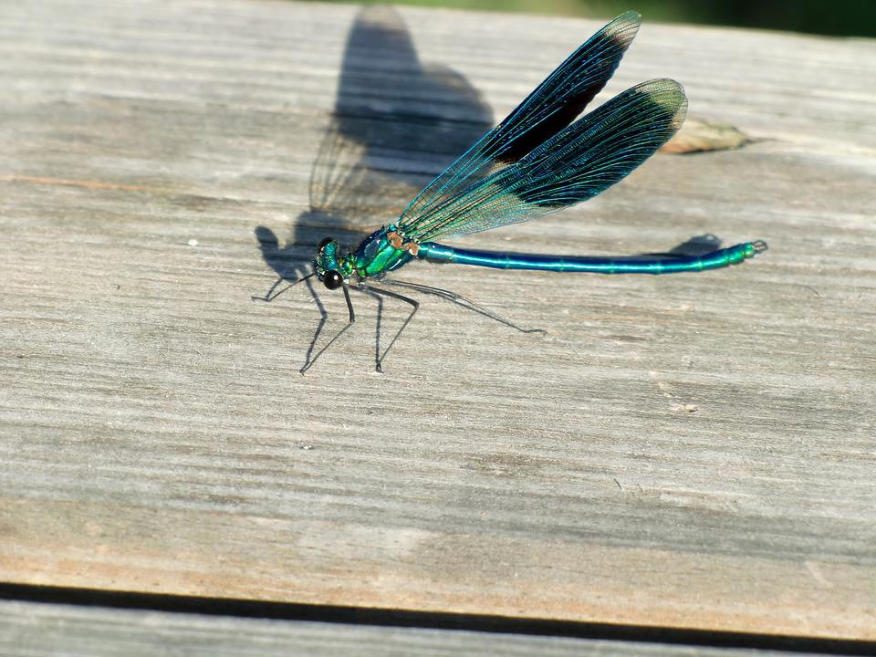 Dragonfly, Wing, Blue, Insect, Shadow