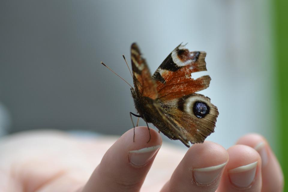 Butterfly, Wing, Insect