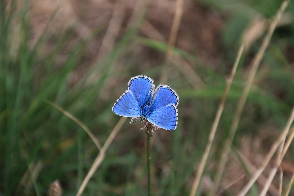 Butterfly, Insect, Blue, Wing, Color