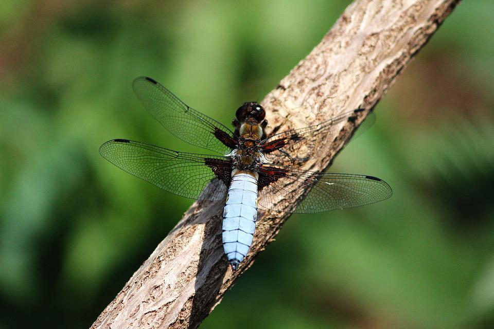 Dragonfly, Spring, Nature, Insect, Close, Wing