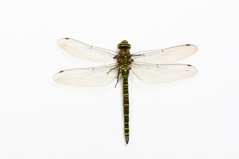 Dragonfly, Insect, Animal, Wing, Chitin, Shiny, Green