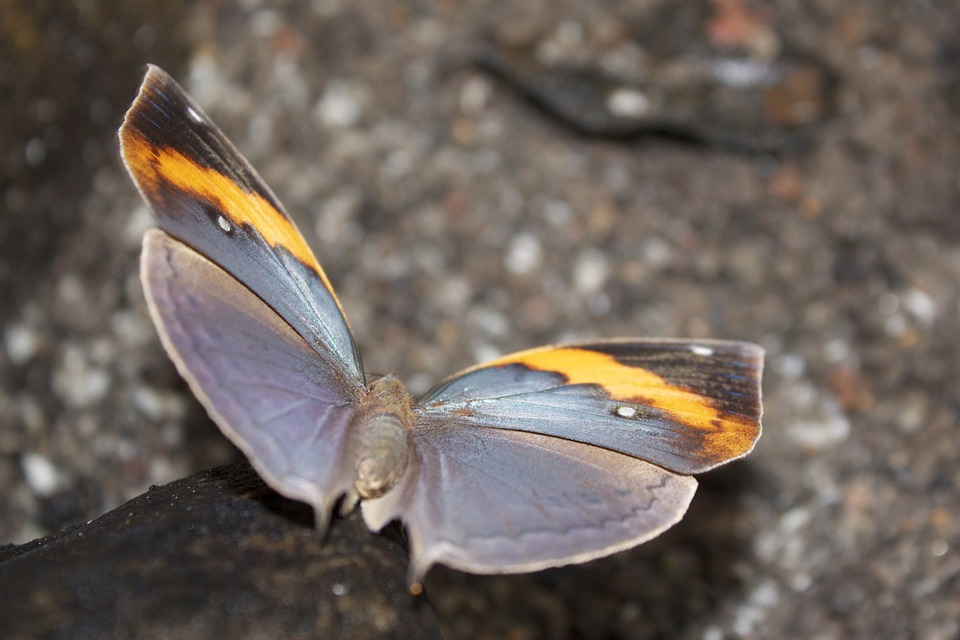 Butterfly, Grey, Orange, Wing, Insect, Gray, Nature