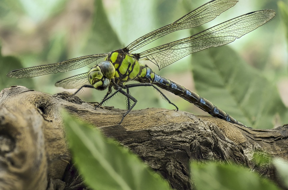 Insect, Nature, Wildlife, Wing, Green Darner, Dragonfly