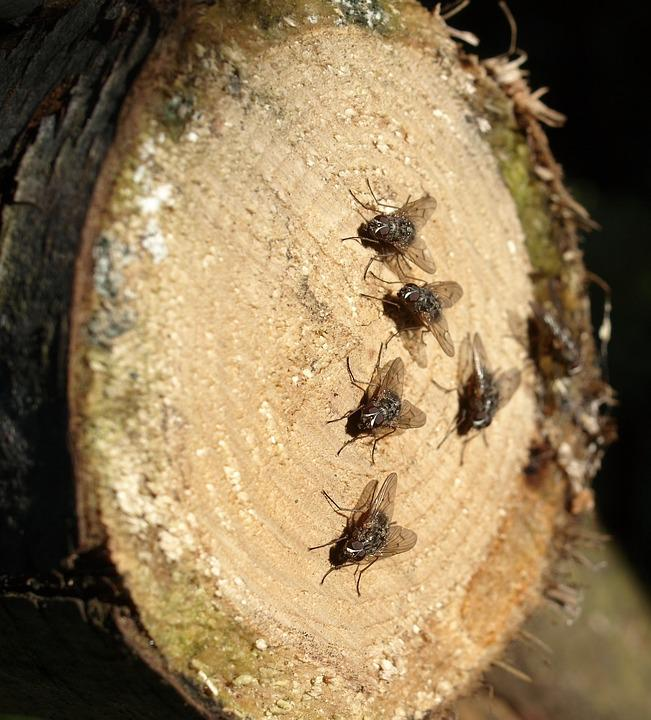 Flies, Insect, Wood