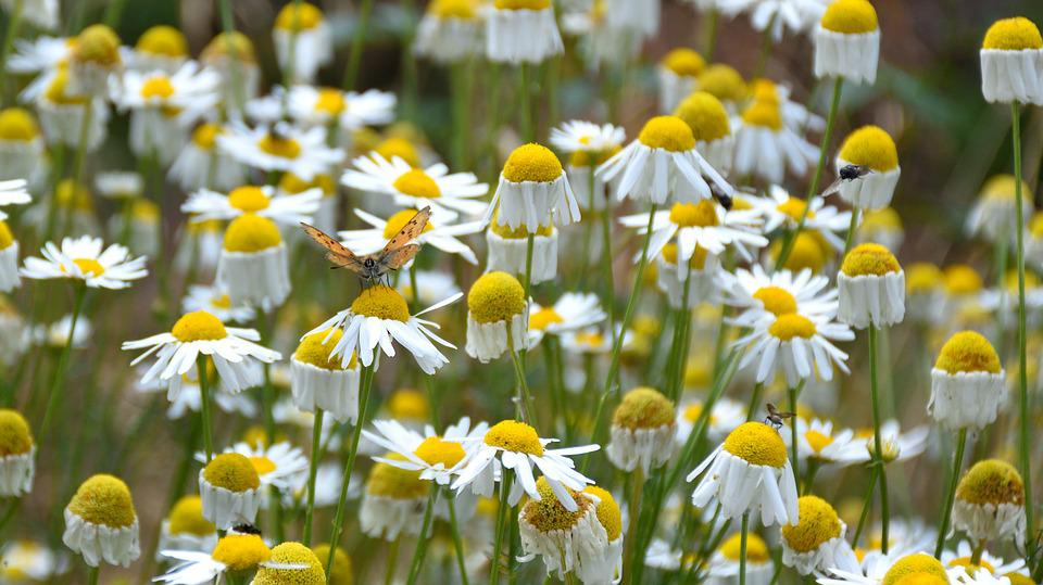 Flower, Butterfly, Daisies, Insect, Summer, Yellow