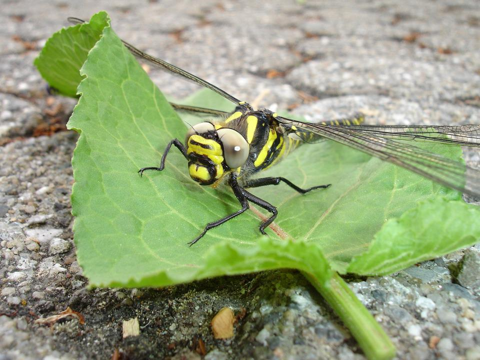 Dragonfly, Insect, Yellow, Flight Insect