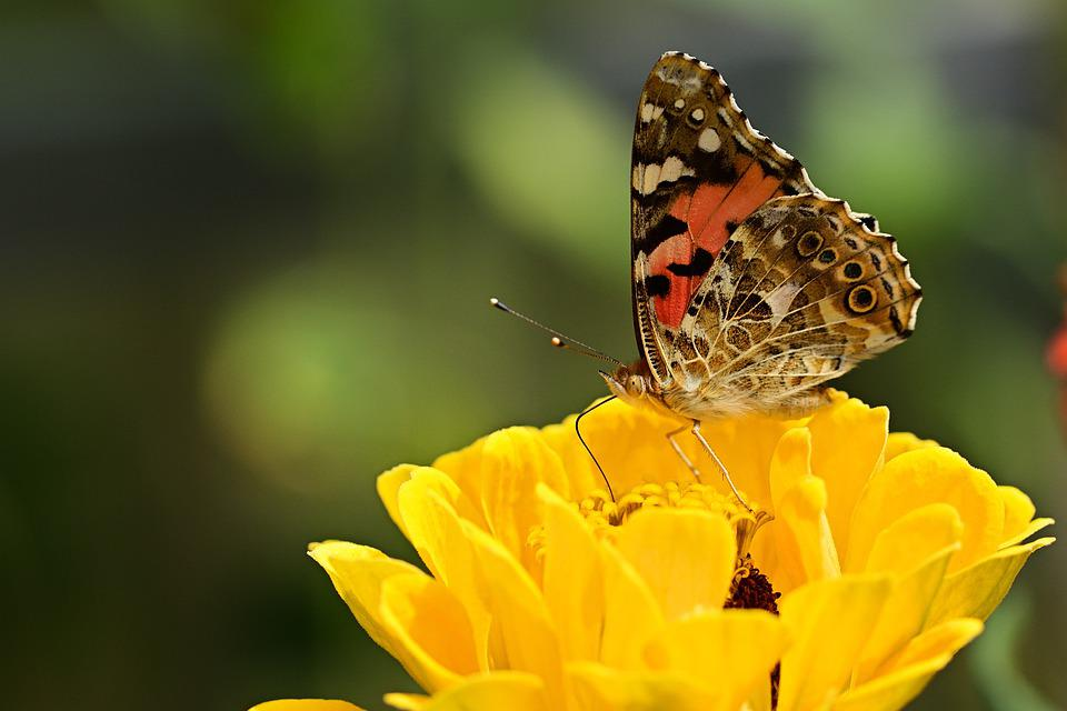 Butterfly, Vanessa Cardui, Flower, Insect, Yellow