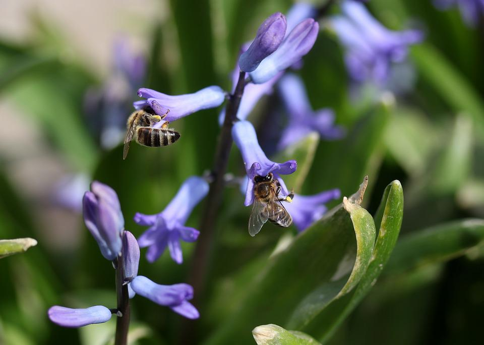 Hyacinth, Bee, Pollination, Blue, Flower, Insecta