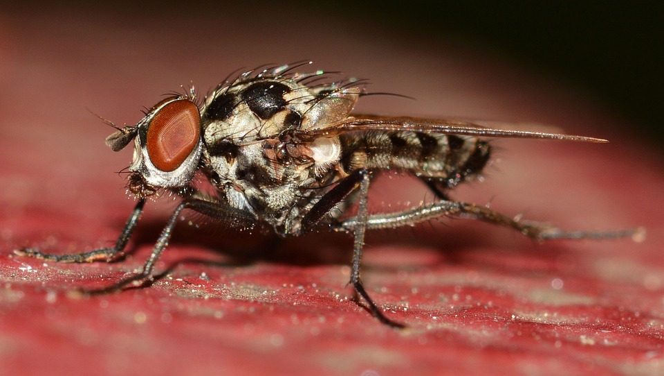 Diptera, Insects, Anthomyia, Procellaris