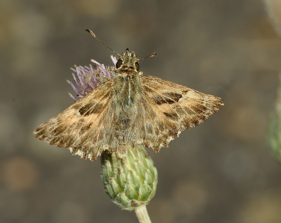 Insects, Butterfly, Moth, Nature, Macro