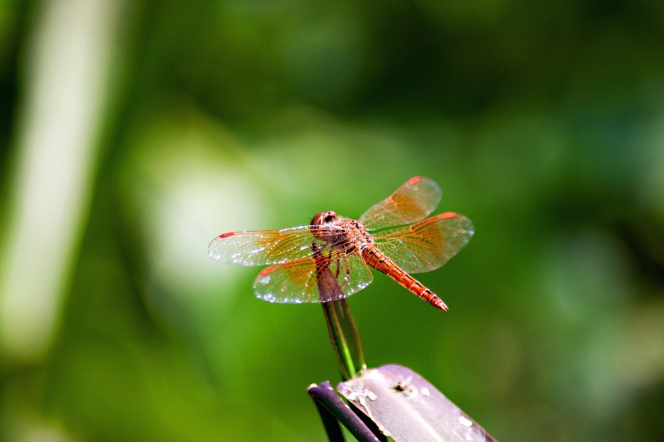 Insects, Dragonfly