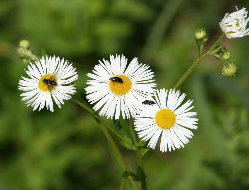 Flowers, Daisies, Insects, Flies, Nature, Forest