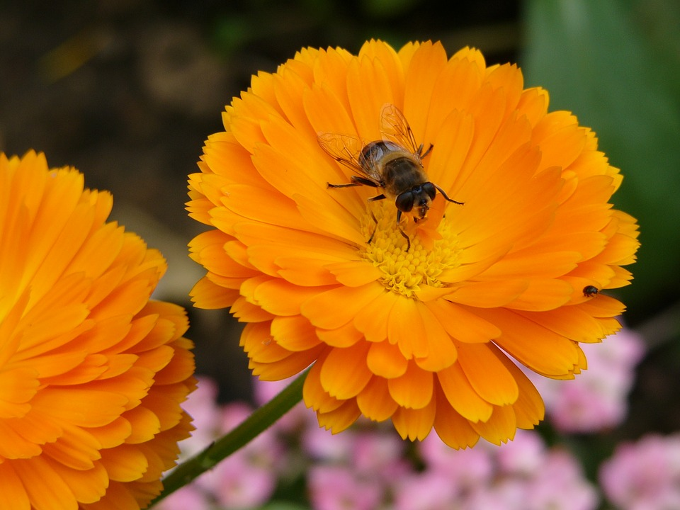 Flower, Bee, Orange, Insects, Garden, Nature