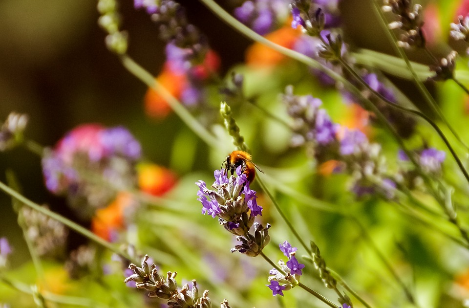 Lavender, Bee, Apis Mellifera, Insects, Flowers