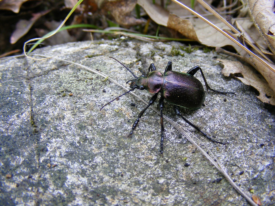 Beetle, Black, Brown, Dark, Golden, Green, Insects