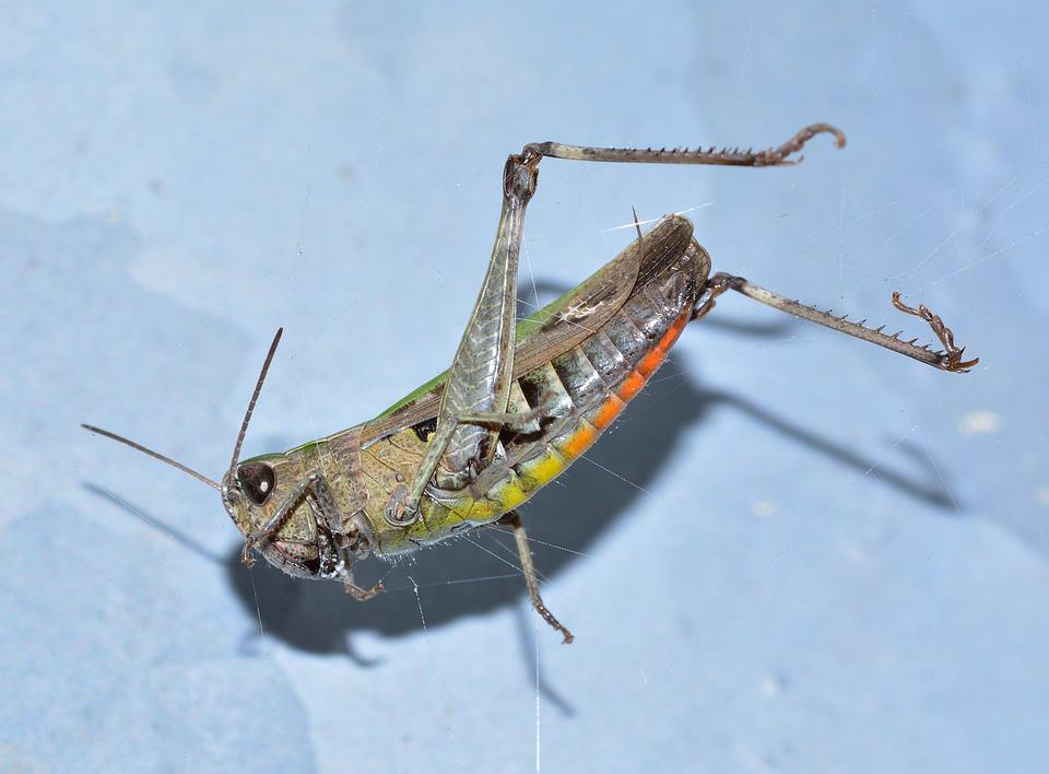 Insects, Orthoptera, Grasshopper, Green