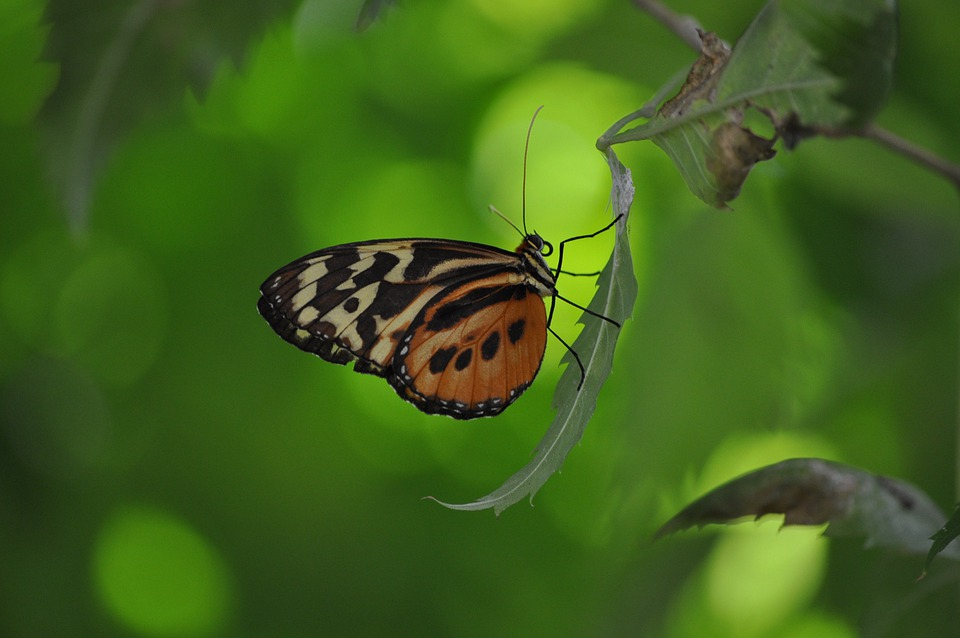 Insects, Butterflies, Leaves, Butterfly, Insect, Wing