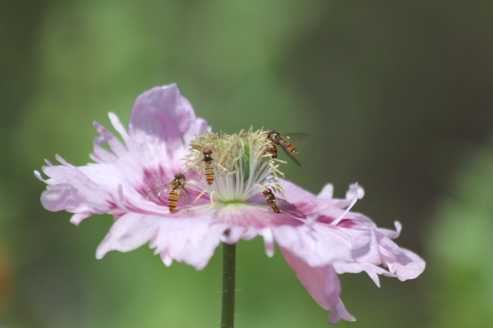 Mack, Lilac Poppy, Insects, Pollination, Stamens