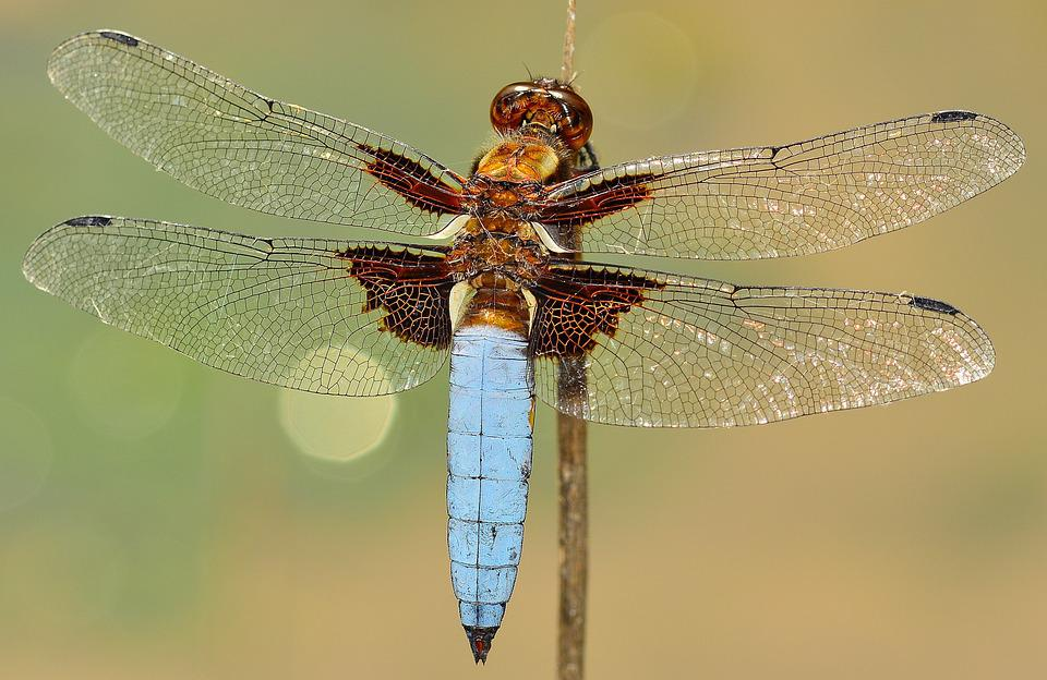 Insects, Dragonfly, Depressa, Macro