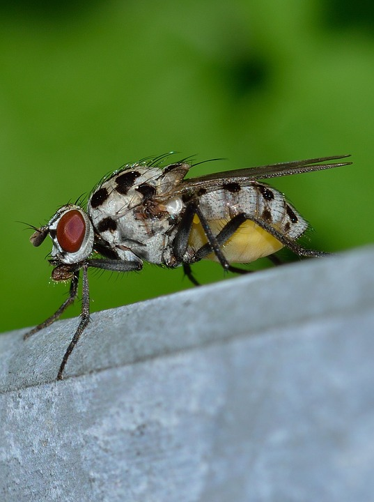 Insects, Diptera, Moscow