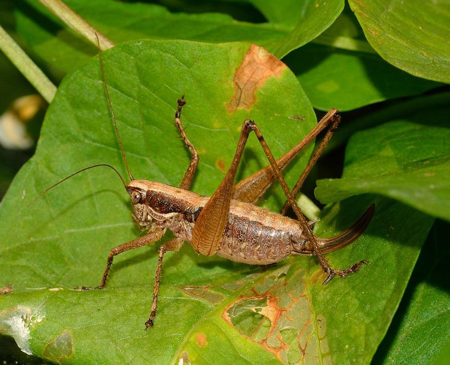 Grasshopper, Orthoptera, Insects