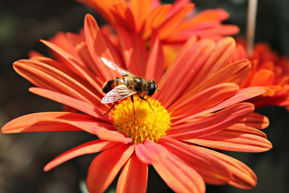 Flower, Bee, Nectar, Insects, Pollen, Pollinate