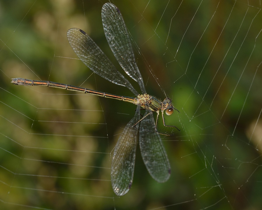 Dragonfly, Insects, Web