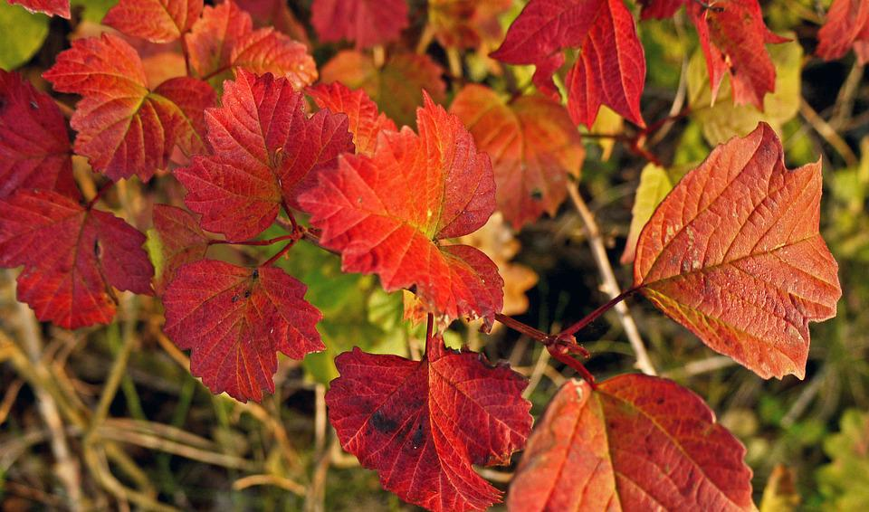 Fall Leaves, Intensive, Wine Red, Bright, Autumn