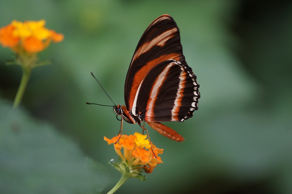 Butterfly, Insect, Nature, Invertebrate, Flower, Garden