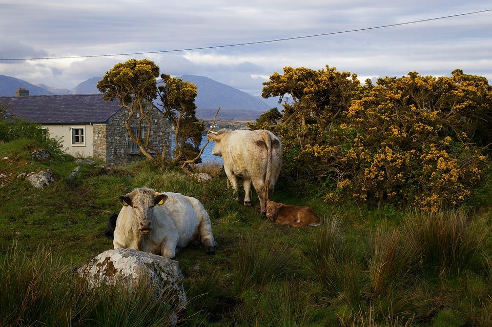 Cattle, Ireland, Rural, Country, Animals