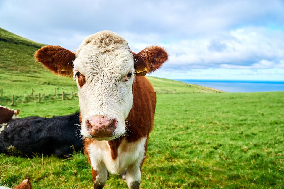 Ireland, Cow, Pasture, Nature, Animal, Grass