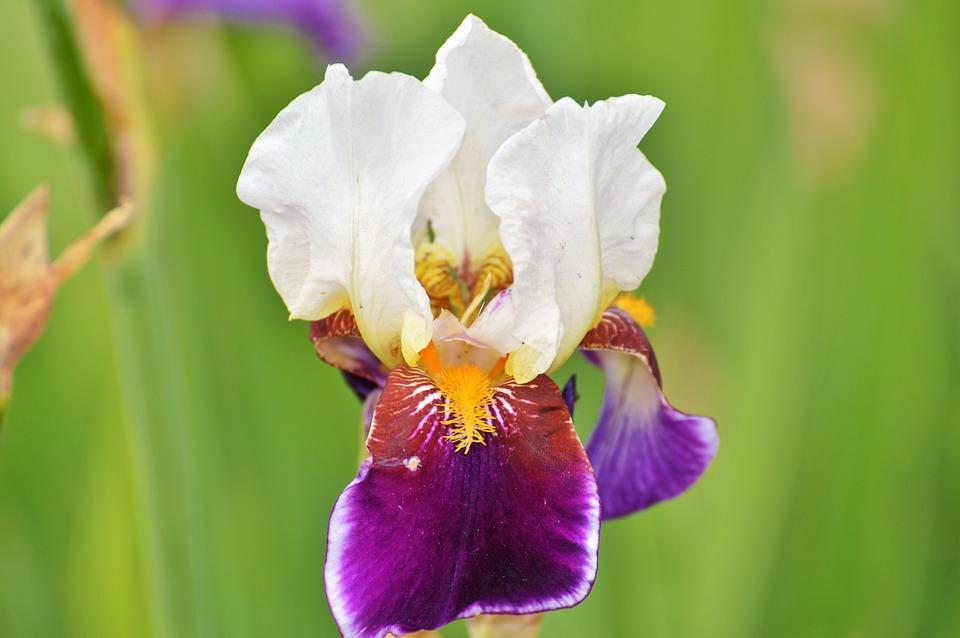 Iris, Flower, Lily, Blossom, Bloom, Iridaceae, Plant