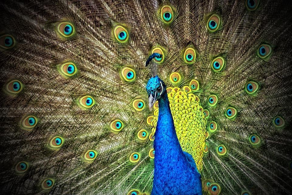 Peacock, Animal, Iridescent