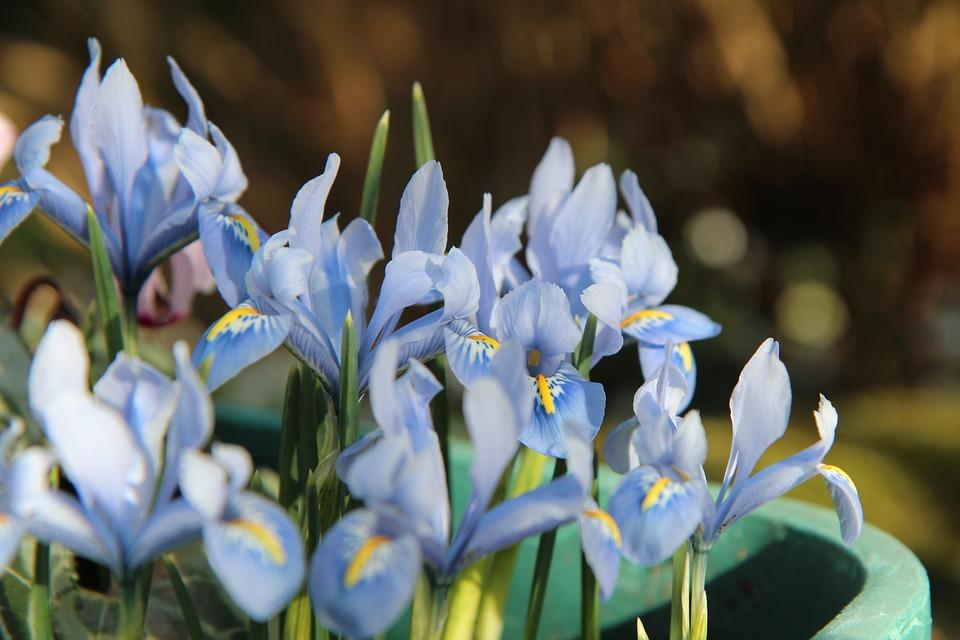 Iris, Iris Blue, Flowering, Small Iris, Flowers