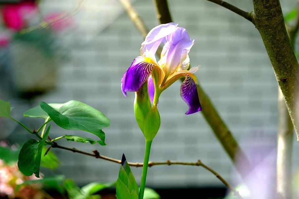 Small Network Blade Iris, Lily, Flower, Nature, Iris