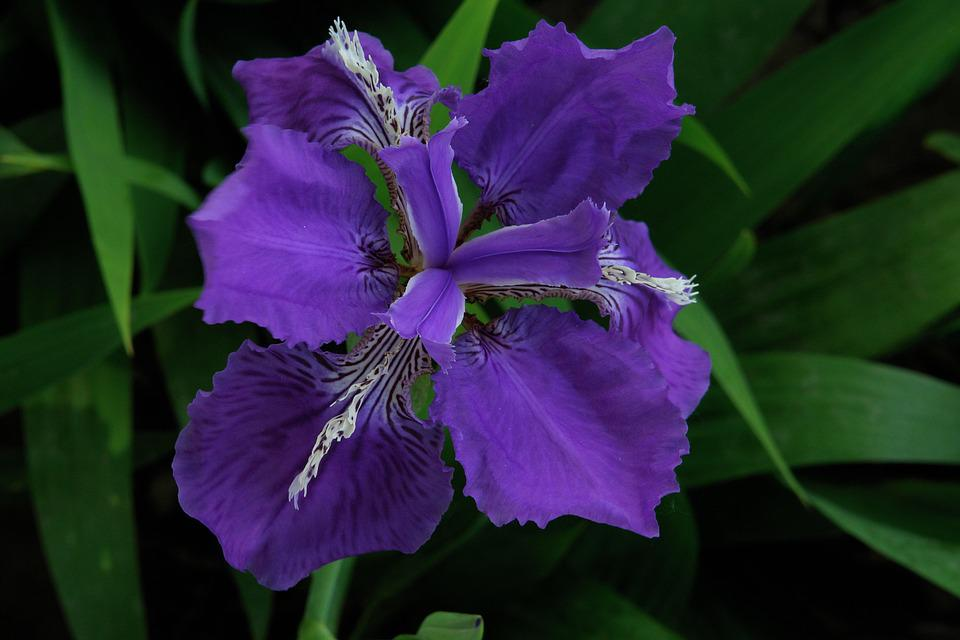 Flower, Flowers, Plant, Purple Flower, Iris, Flowering