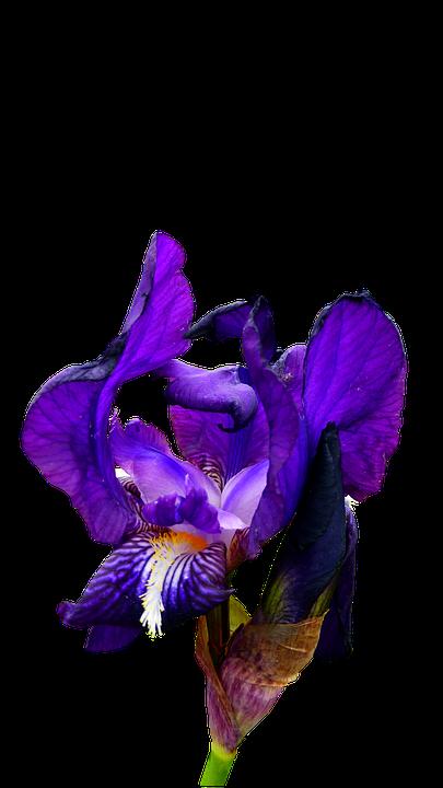 Iris, Blue, Flower, Garden, Nature, Botany, Petals
