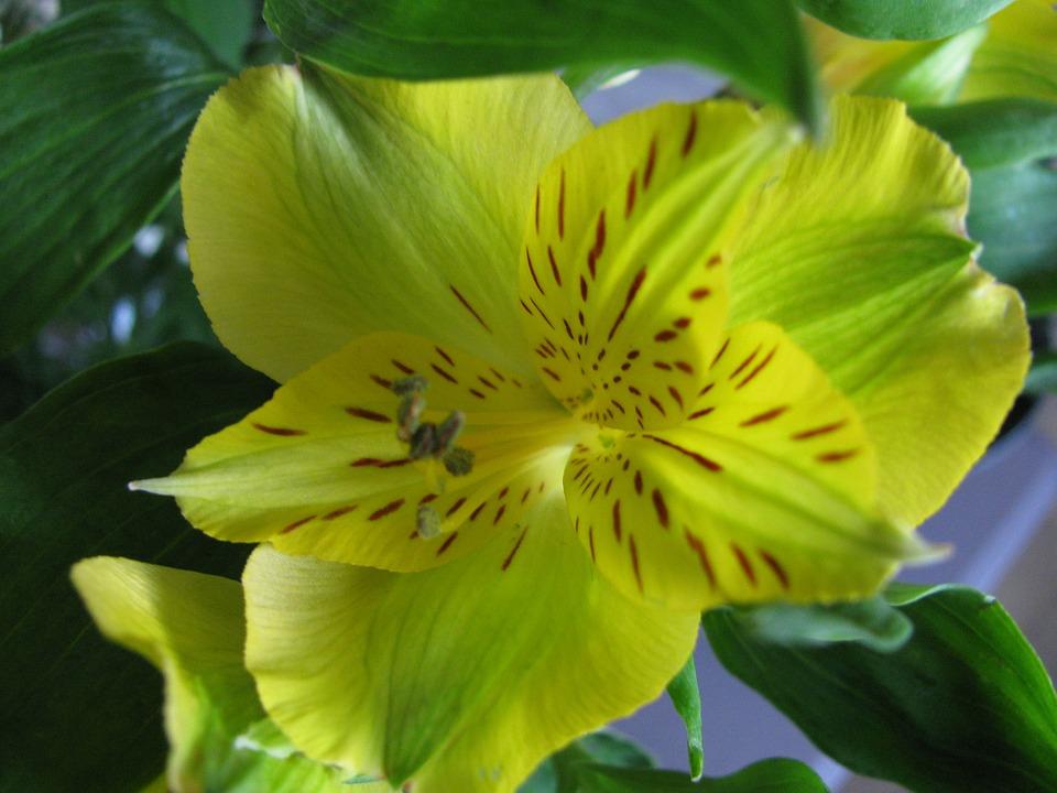 Flower, Iris, Yellow